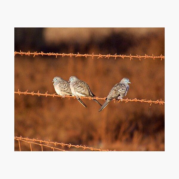 NT ~ DOVE ~ Peaceful Dove by David Irwin 131019 Photographic Print