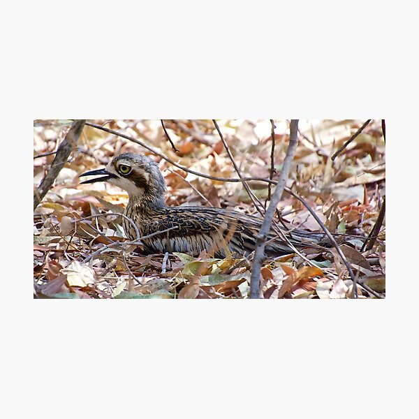NT ~ CURLEW ~ Bush Stone-curlew by David irwin 131019 Photographic Print