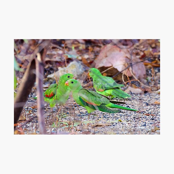 NT ~ PARROT ~ Red-winged Parrot (juv) by David Irwin 131019 Photographic Print