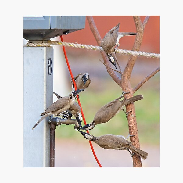 NT ~ FRIARBIRD ~ Silver-crowned Friarbird by David Irwin 131019 Photographic Print