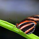 Banded Orange Heliconian (Dryadula phaetusa) by jules572
