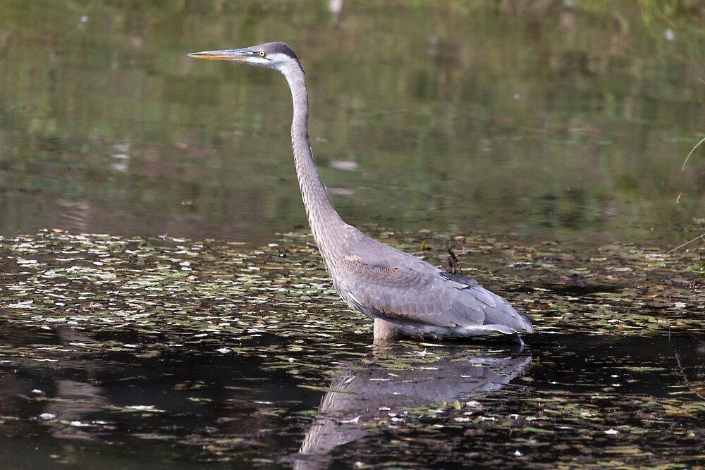 Great Blue Heron in a pond by Josef Pittner