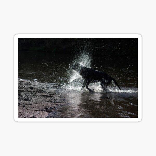 Black labrador shaking water Sticker