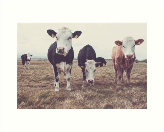 Curious Cows by Shay Murphy