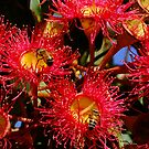 Australian Red Flowering Gum by Gabrielle  Lees