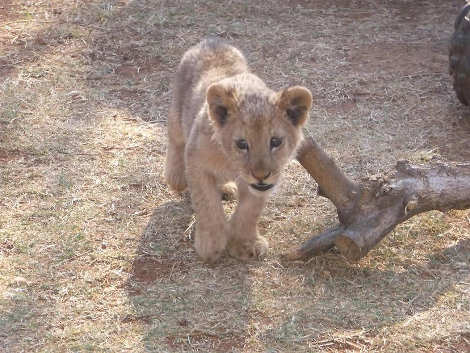 Lion Cub on Prowl, Gauteng, South Africa by sbrosszell