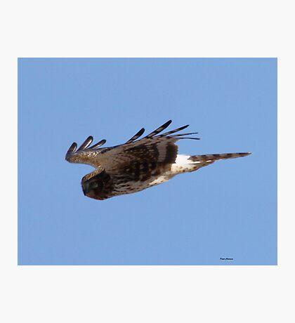 Cooper Hawk Photographic Print
