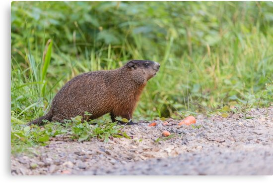 The Beaver in the wild by Josef Pittner