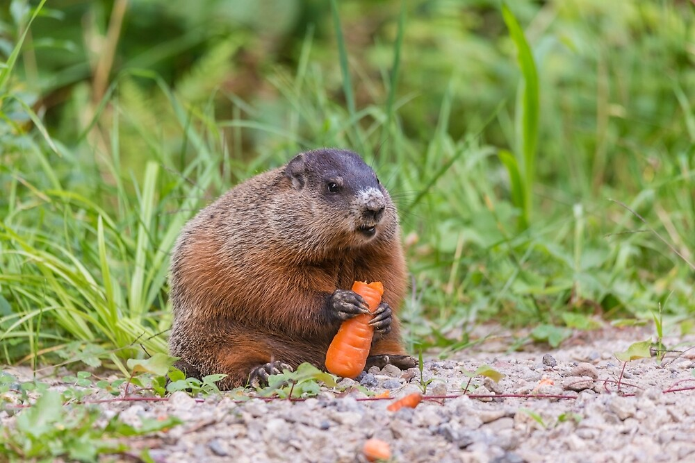 The Beaver and the carrot by Josef Pittner