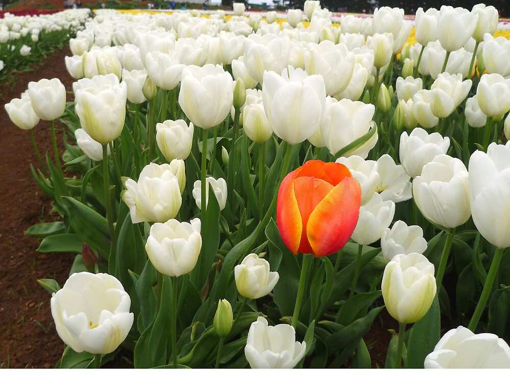 Orange in a Field of White by TonyCrehan