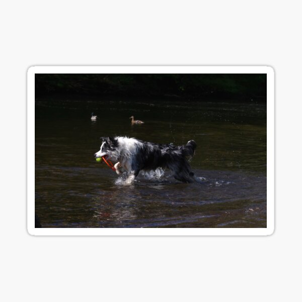 Border collie playing in river Sticker