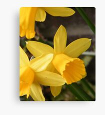 Spring Daffies Canvas Print