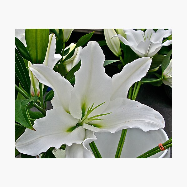LILY - LILY'S FANTASY Photographic Print