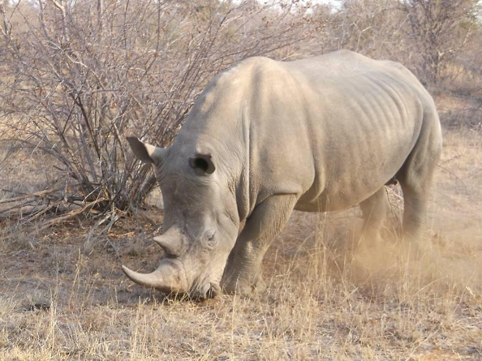 White Rhino 2, Limpopo, South Africa by sbrosszell
