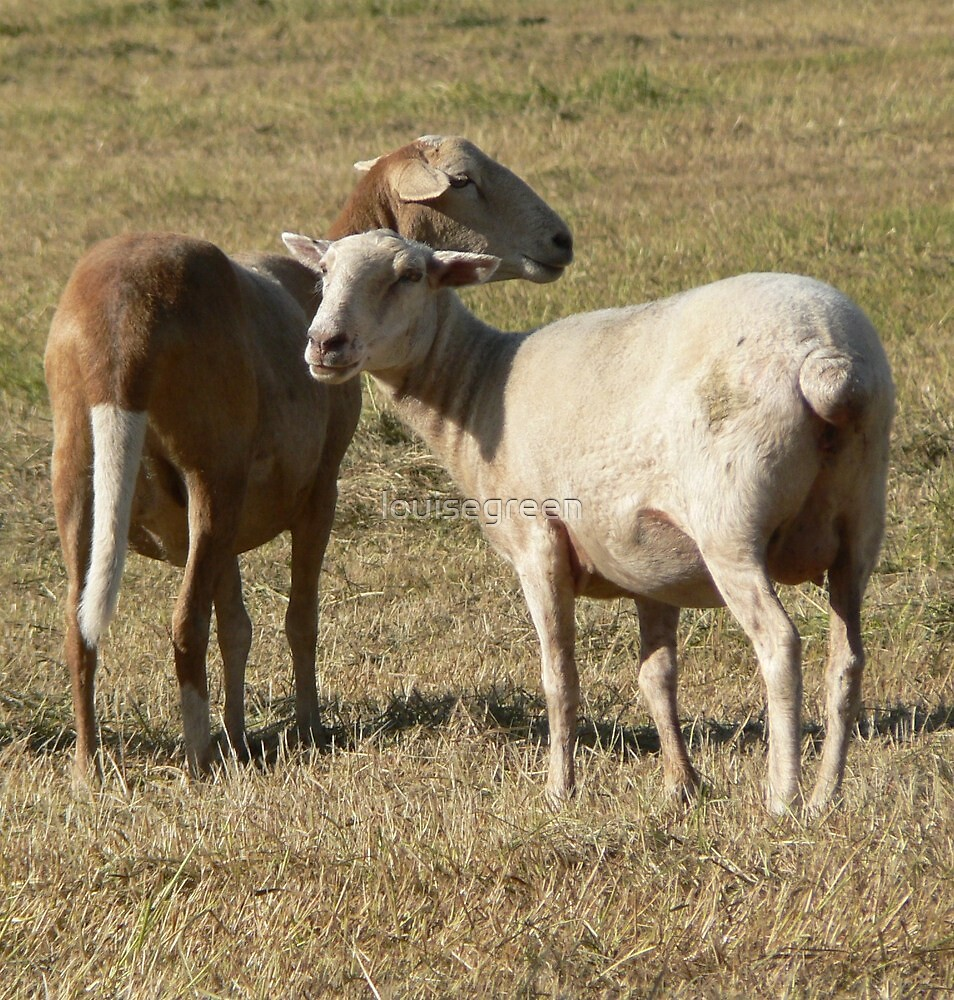 Crossbred Ewes by louisegreen