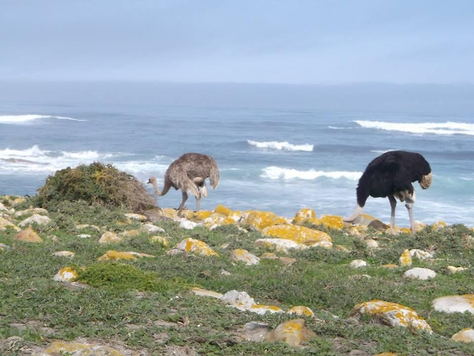 Ostriches, Cape of Good Hope, South Africa by sbrosszell