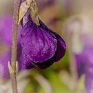 No Shrinking Violet by Belinda Osgood