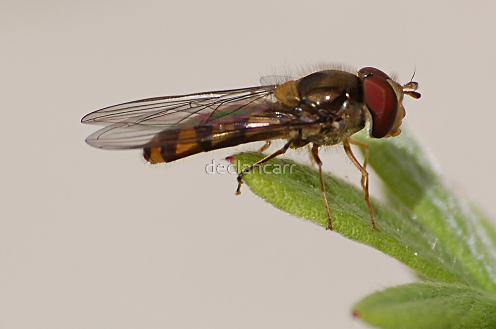 hoverfly  by Declan Carr