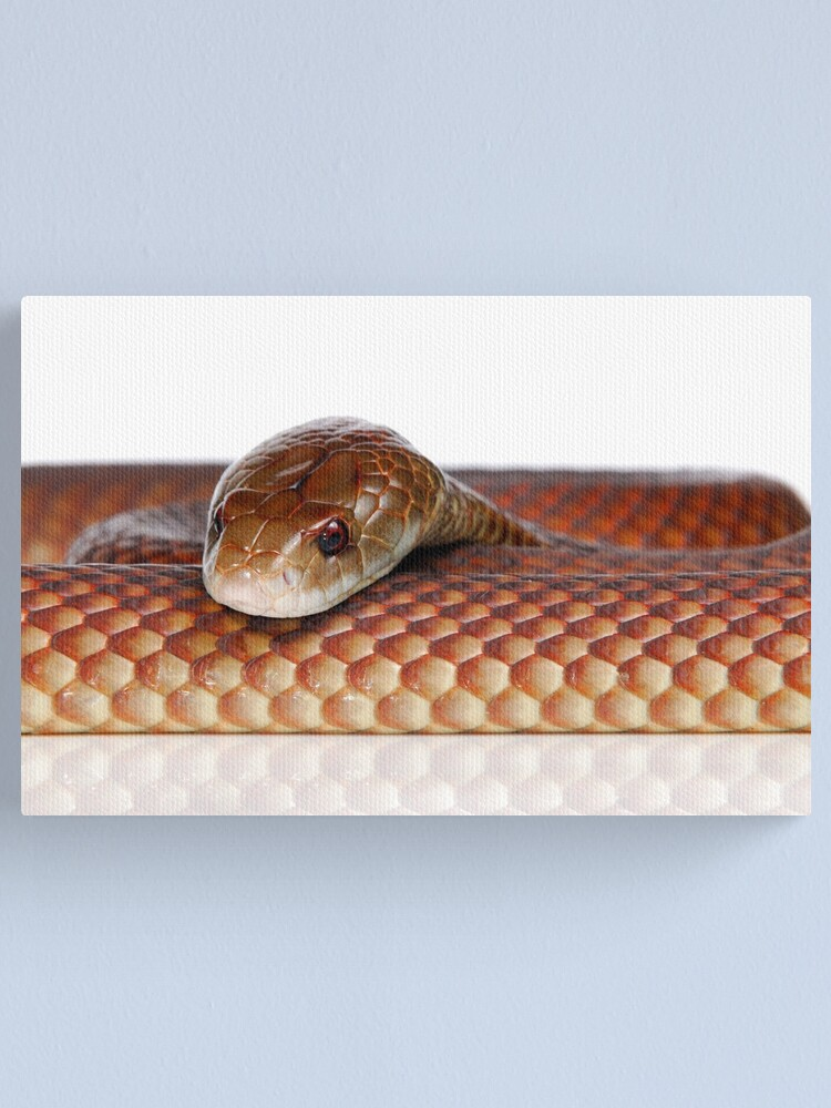Alternate view of Mulga or King Brown Snake (Pseudechis australis) Canvas Print