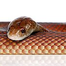 Mulga or King Brown Snake (Pseudechis australis) by Shannon Wild