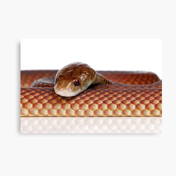 Mulga or King Brown Snake (Pseudechis australis) Canvas Print