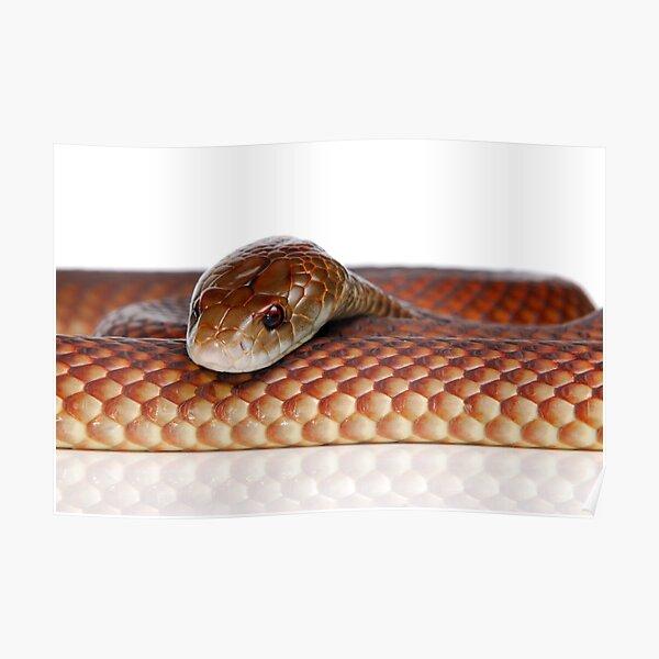 Mulga or King Brown Snake (Pseudechis australis) Poster