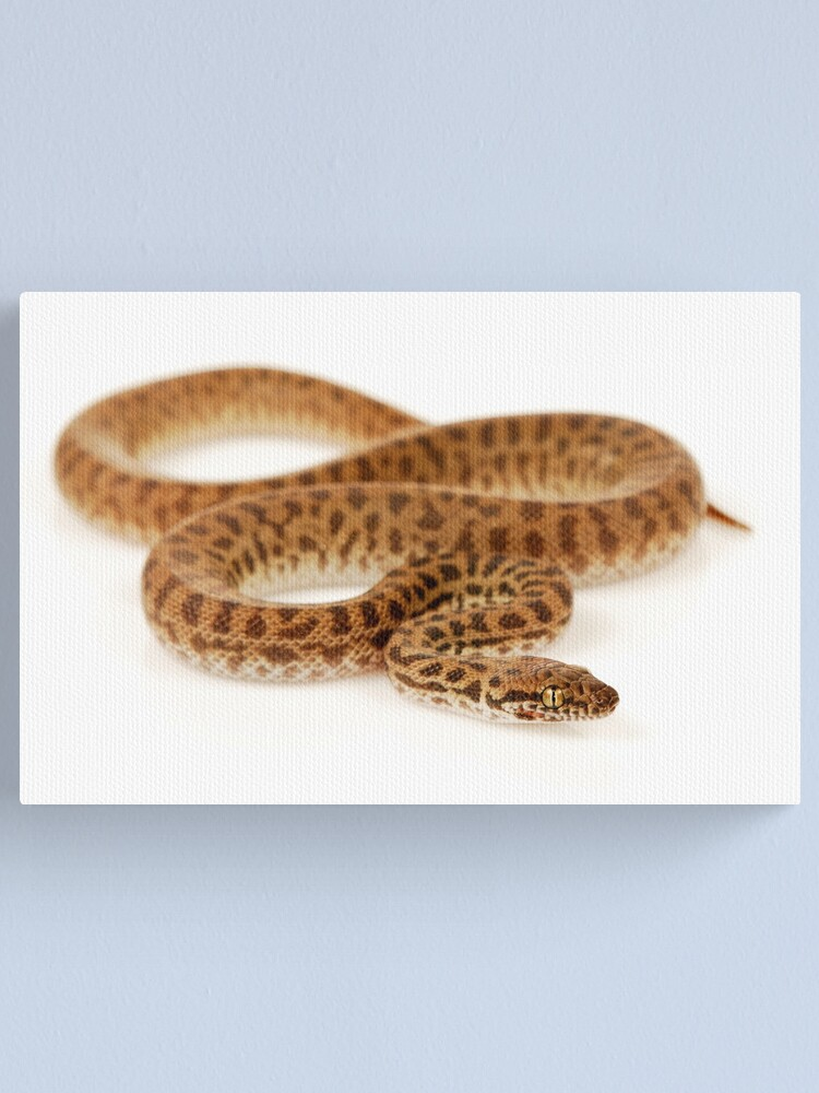 Alternate view of Children's Python (Antaresia childreni) Canvas Print