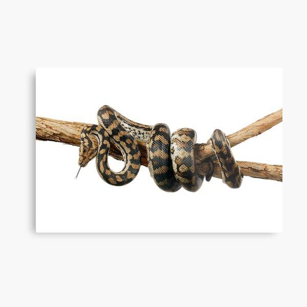 Gammon Ranges Carpet Python (Morelia spilota ssp.) Metal Print