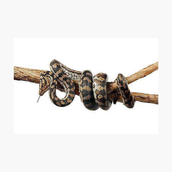 Gammon Ranges Carpet Python (Morelia spilota ssp.) Photographic Print
