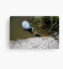 Coot &  Co Canvas Print