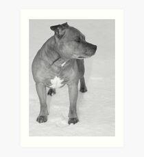 Staffie in the snow Art Print