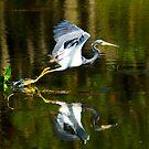 Wurdemann's Heron Taking Flight by Frank Bibbins