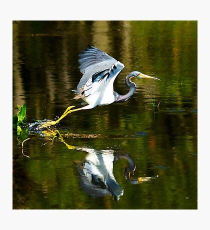Wurdemann's Heron Taking Flight Photographic Print