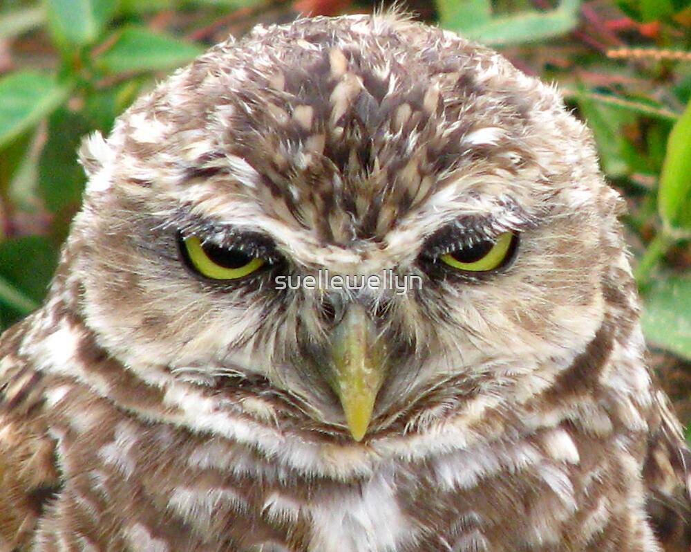Owl, Florianopolis, Brazil by suellewellyn
