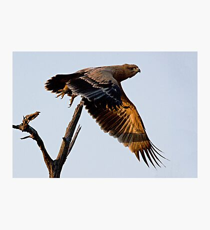 Tawny Eagle In Flight Photographic Print
