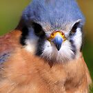 American Kestrel ~ Portrait  by Kimberly Chadwick