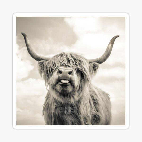Cheeky Highland Cow  Sticker