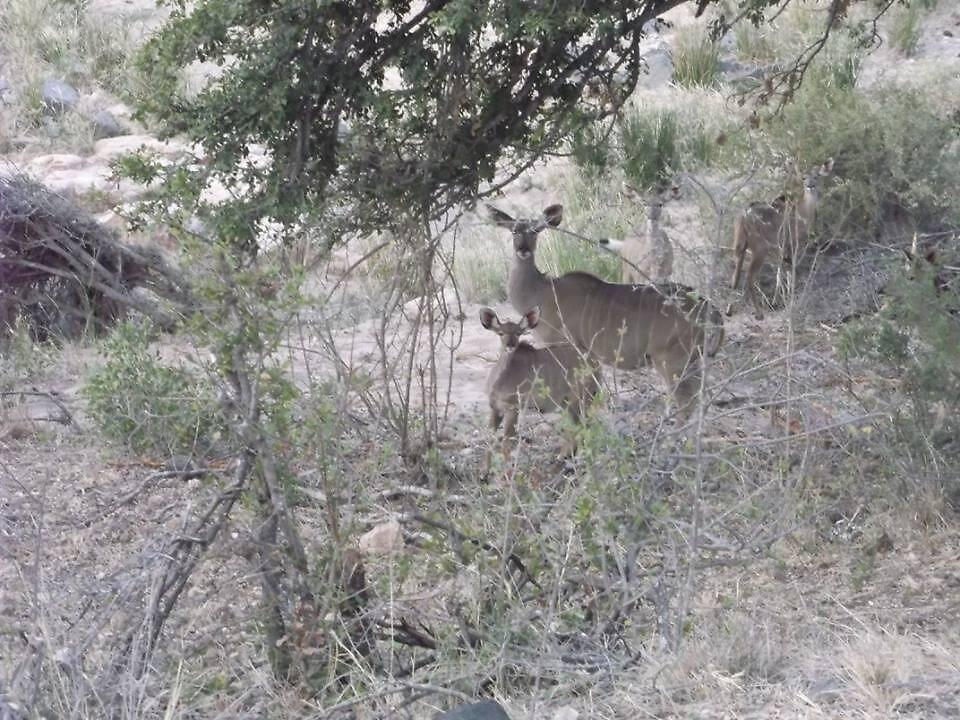 Kudu Mother and Child, Limpopo, South Africa by sbrosszell
