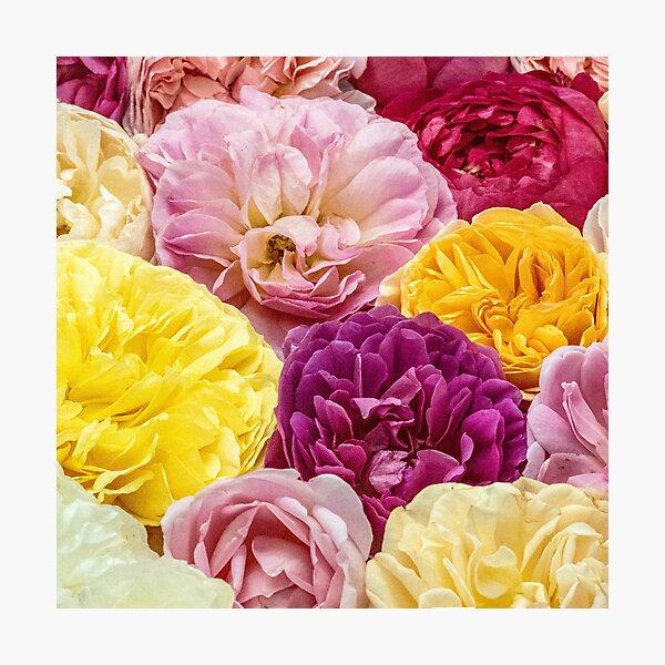 Rose Fever No.4 (square) Photographic Print