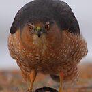 Back Off! - Cooper's Hawk by naturalnomad