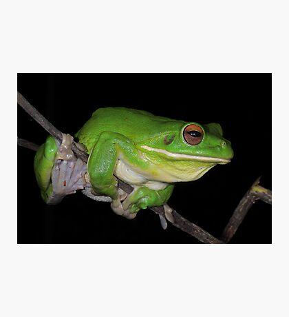 White-lipped Tree Frog Profile Photographic Print