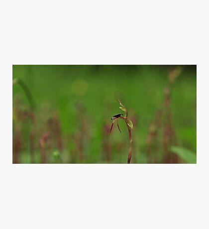 Chiloglottis trilabra? Mount Wilson Photographic Print