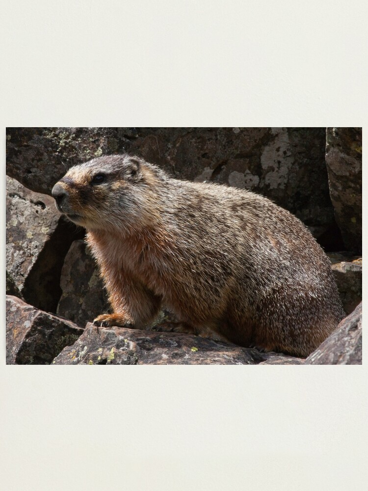 Alternate view of Meet Mr. Marmot Photographic Print