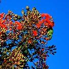 swift parakeet. eastcoast, tasmania by tim buckley   bodhiimages