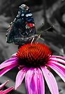 Red Admiral Butterfly  by Marcia Rubin