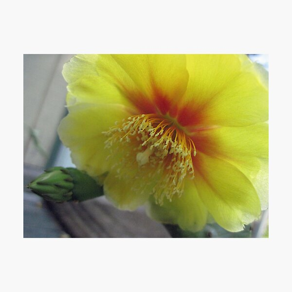 prickley pear flower Photographic Print