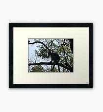 Capuchin monkey, Gauteng, South Africa Framed Print