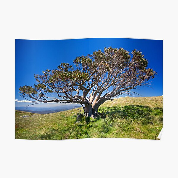 The Lonely Snow Gum Poster