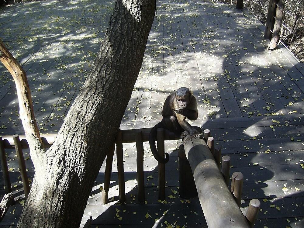 Capuchin Monkey 2, Gauteng, South Africa by sbrosszell