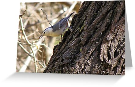 White-breasted Nuthatch ~ Catalina Mt, AZ by Kimberly Chadwick